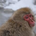 A Visit with the Snow Monkeys at Jigokudani Monkey Park, Japan