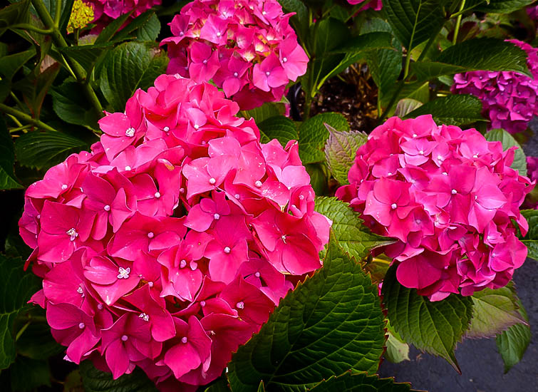 Full Shade Hydrangea Glowing Embers Hydrangeas For Sale Online | The Tree Center™