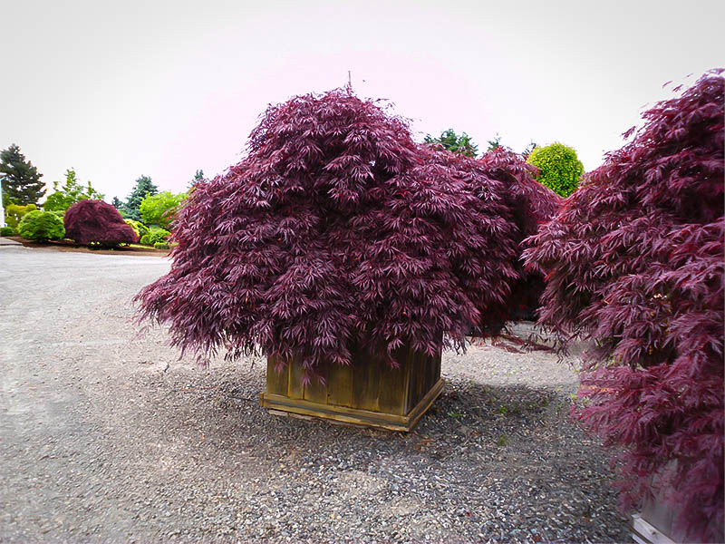 Queen Size Taille Inaba Shidare Japanese Maple For Sale Online | The Tree Center