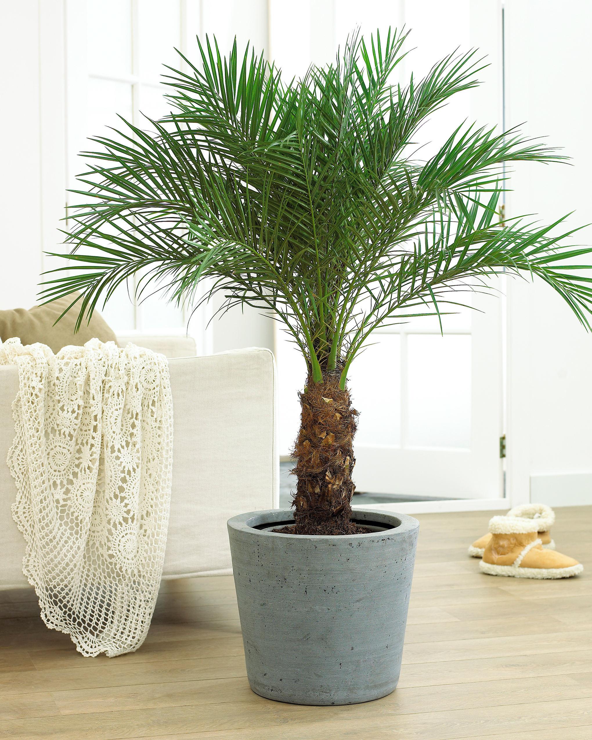 Large Indoor House Plants For Sale Indoor Palm Trees The Tree Center