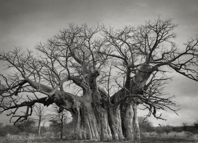 oldest-trees-beth-moon-6