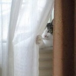 Top 10 Images of Cats Hiding Behind Curtains