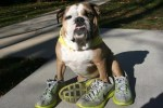 Top 10 Funny Images of Dogs in Shoes