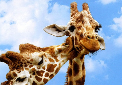 Animated Kissing Image Images of Animals Kissing