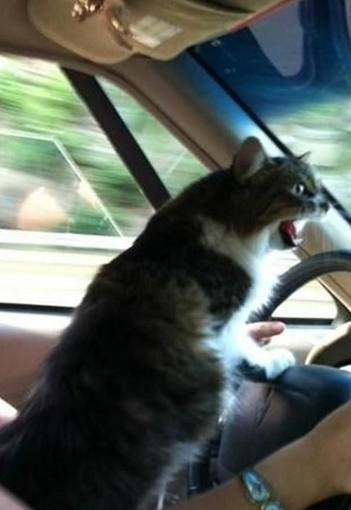Grumpy Cat Driving A Car