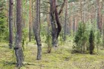lithuanian-forests-2