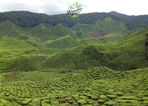 Tea Plantation in Cameron Highlands