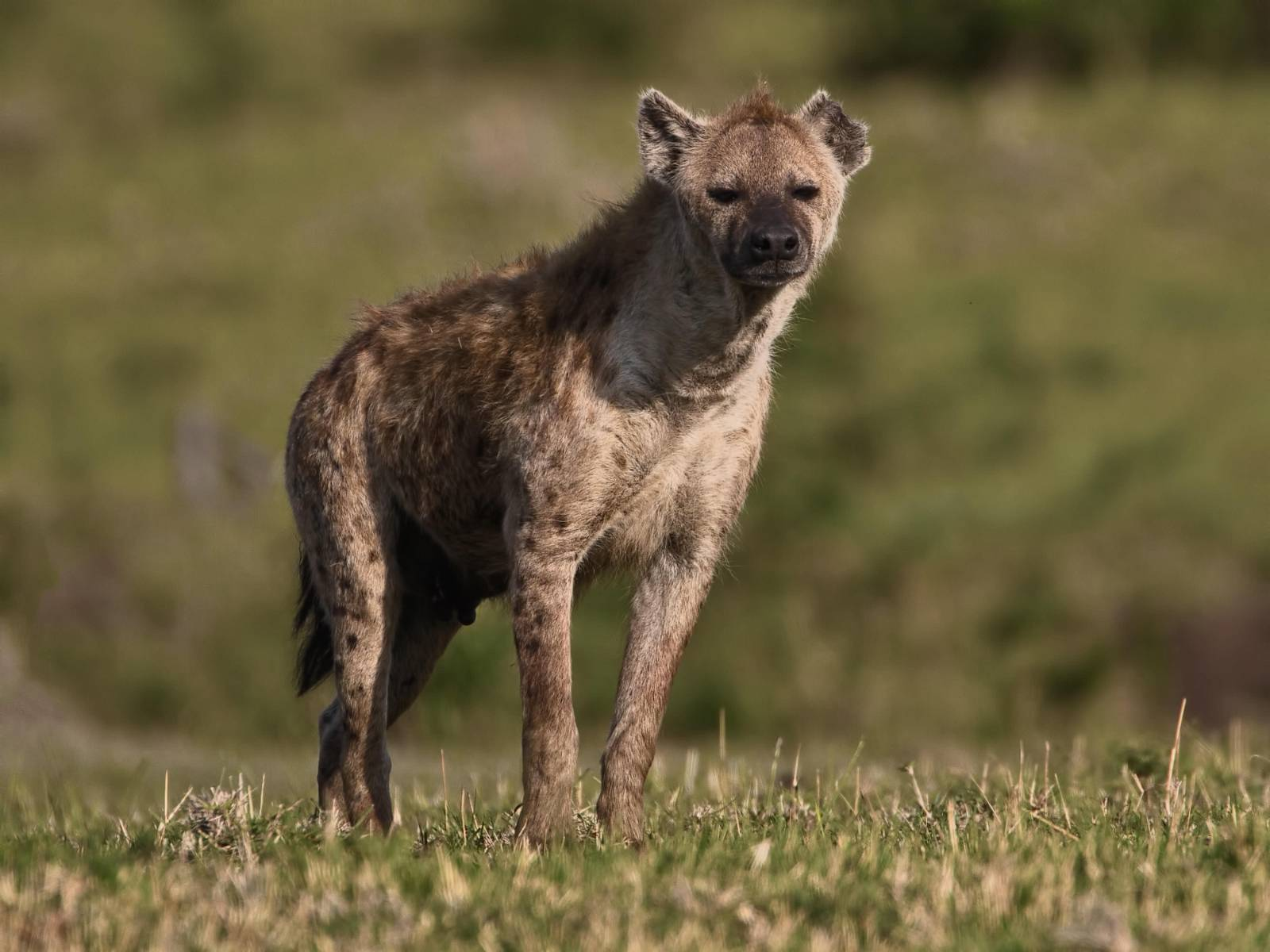 Hunting With Shot Hyenas