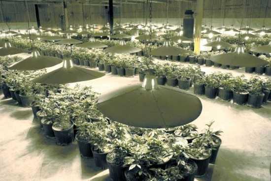 weed grow warehouse marijuana plants