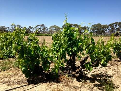 Yalumba The Tri-Centenary Vineyard 5