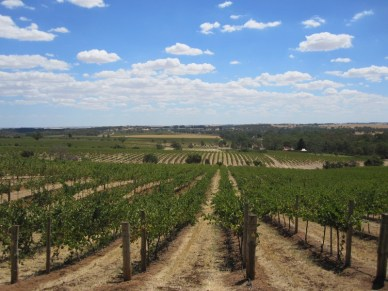Barossa valley vines