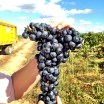 A harvest time visit to Bodegas Ochoa in Navarra