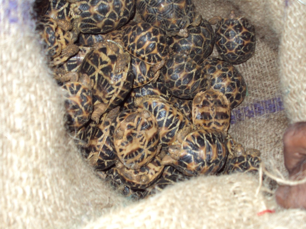 Confiscated star tortoises in south India. Credit: Sumanth Madhav