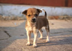 Small Of Indian Dog Breeds