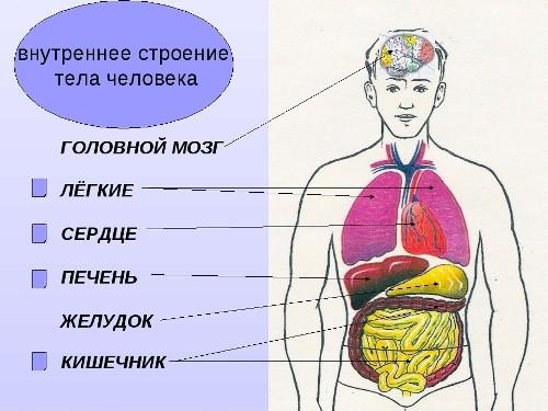 Органы человека схемы