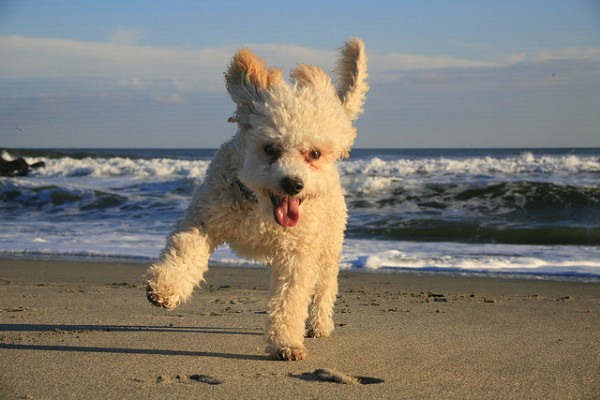 Funny Rap Quotes Wallpapers The 30 Super Cute Poodle Puppies The Wondrous