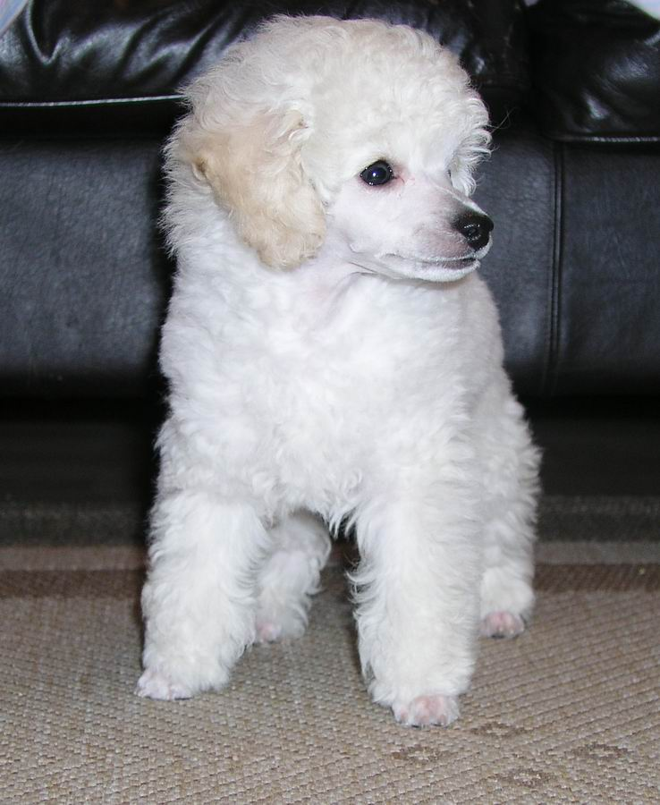 Cute Puppies Wallpapers With Quotes The 30 Super Cute Poodle Puppies The Wondrous