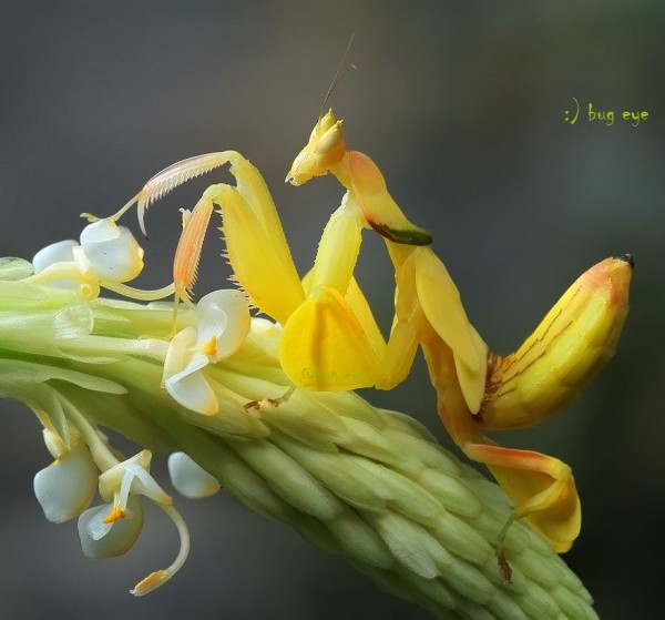 Pink Flower Wallpapers With Quotes Amazing Orchid Mantis Insects Similar As Flowers The