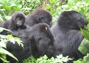 Gorilla Family of 4