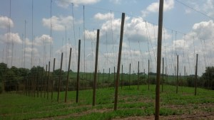First year hop yard at Buck Creek Hops