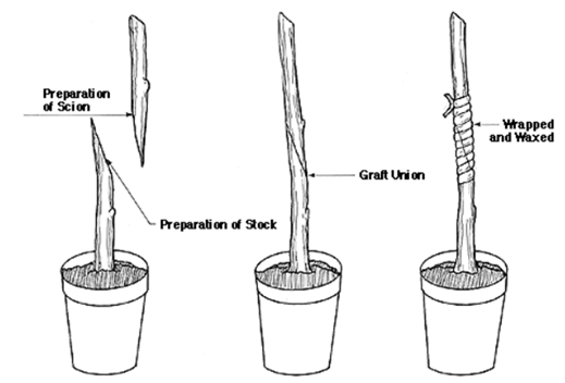 plant growth chart diagram