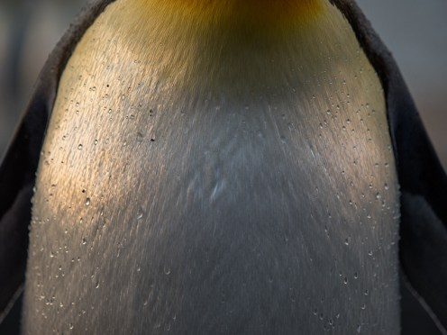 King Penguin S Georgia