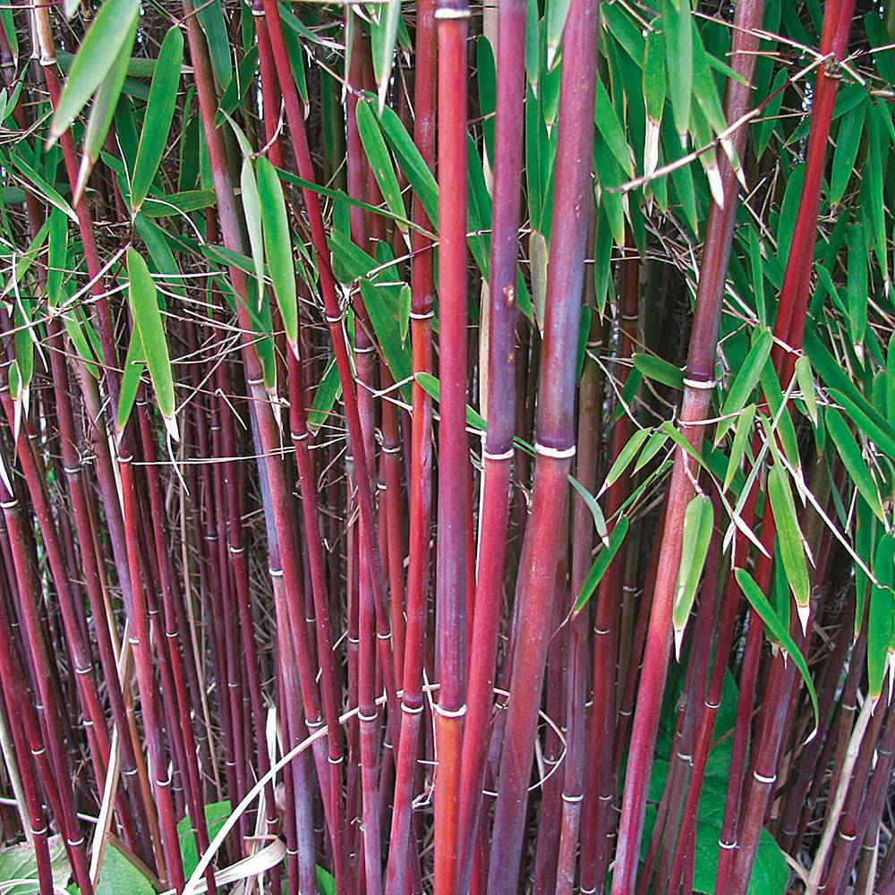 Asian Plants For Sale Bamboo Plants Thompson Morgan