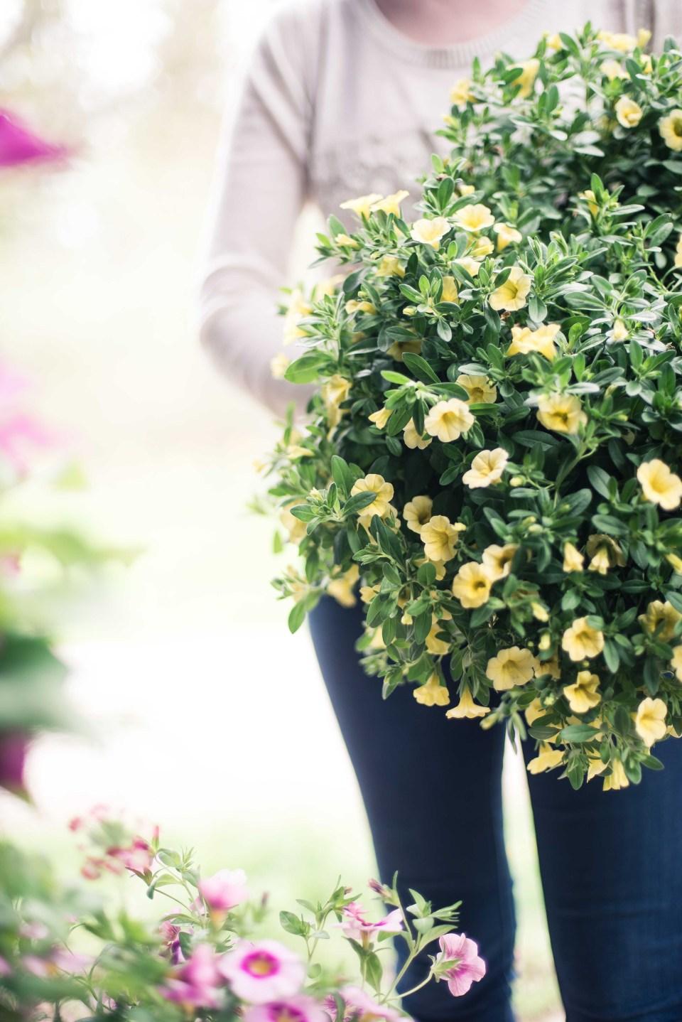 Yellow Petunias