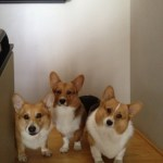 20130403 064012 150x150 Three Corgis videos on fire