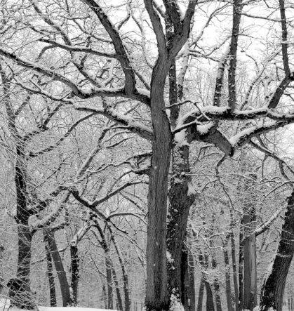 snowtreebw