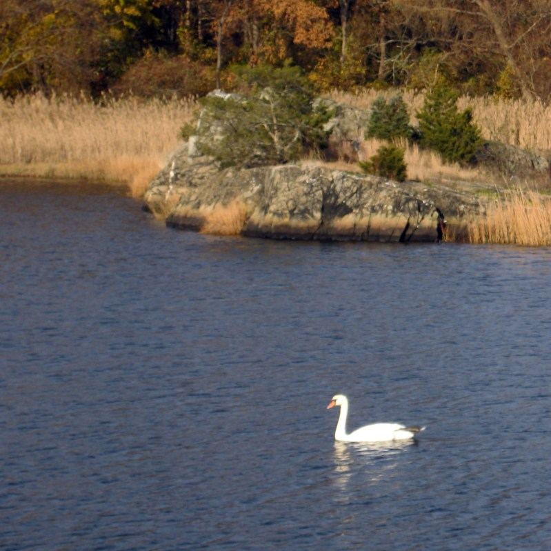 Swans are abundant along the bike path as our most other waterfowl.
