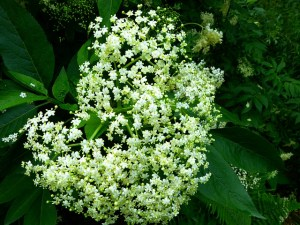 Elderflower champagne recipe home brew for foragers foraging forager foraged