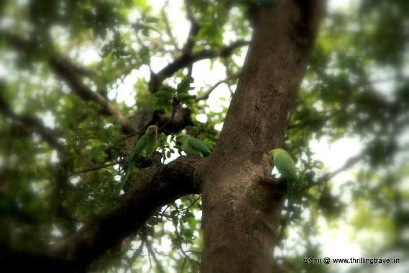 Parrots at Lalbagh