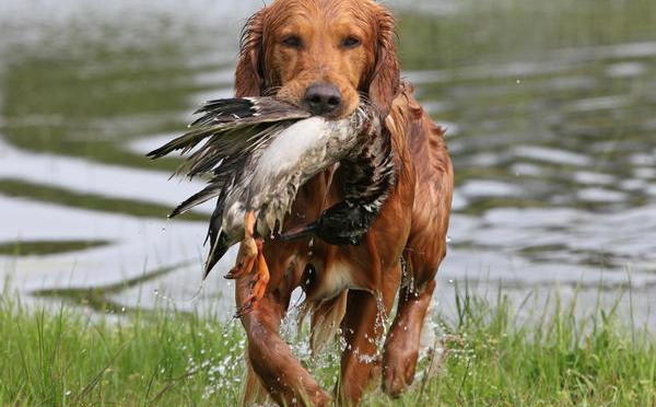 A Duck Dog