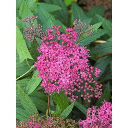 Small Crop Of Anthony Waterer Spirea