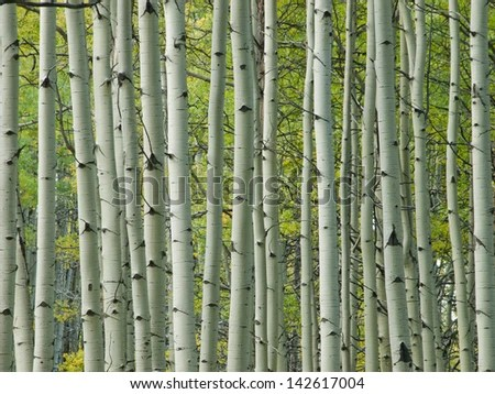 Birch Tree Fall Wallpaper Close Up Aspen Trees Stock Photos Images Amp Pictures Shutterstock