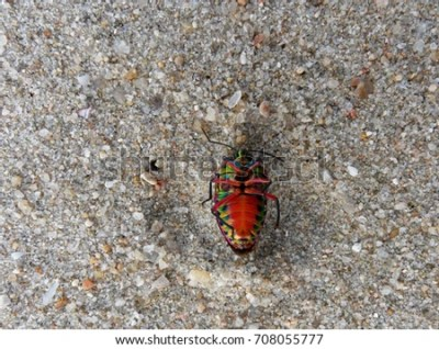 Shield-backed Bugs Stock Images, Royalty-Free Images & Vectors | Shutterstock