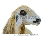 Black_lamb_facing_white Stock Photos, Royalty-Free Images ...