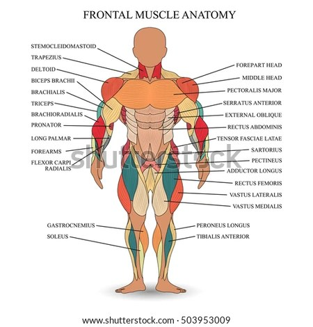 Anatomy Human Muscles Front Template Medical Stock Vector 503953009