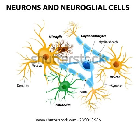 Neurons Neuroglial Cells Glial Cells Nonneuronal Stock Vector