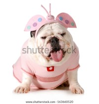 English Bulldog Dressed Easter Bunny Sitting Stock Photo ...