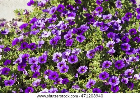 Annual Bedding Plant Stock Photos Royalty Free Images