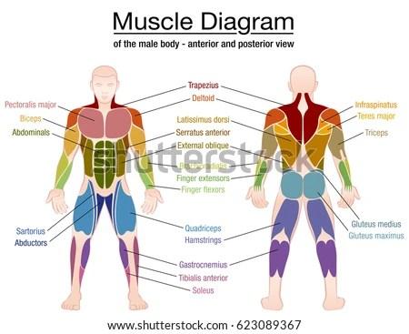 Muscle Chart Template  NodeResumeTemplatePaasproviderCom