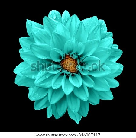 Dark Floral Iphone Wallpaper Turquoise Flower Dahlia Macro Isolated On Stock Photo