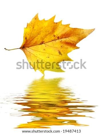 Birch Tree Fall Wallpaper Close Up Autumn Leaf Reflection Stock Illustration 7779589