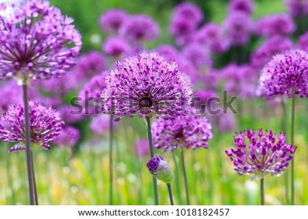 Purple Flowers On Fancy Violet Background Stock Photo (Edit Now