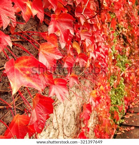 Japan Fall Wallpaper Red Ivy Creeper Leaves On Stone Stock Photo 475182952