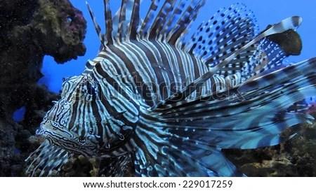 Zebra fish. Exotic Zebra fish or striped lionfish. Saltwater Fish