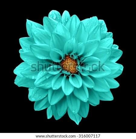 Turquoise Flower Dahlia Macro Isolated On Stock Photo  Image