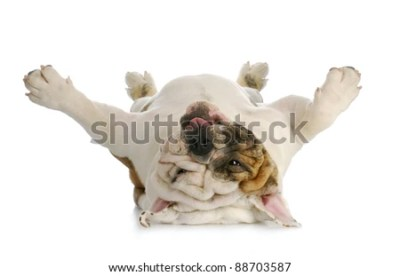 Dog Lying Down Isolated Stock Images, Royalty-Free Images & Vectors   Shutterstock